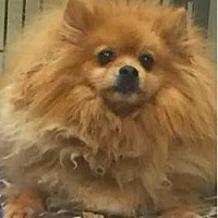 Pomeranian Dog for adoption in Studio City, California - Snapple