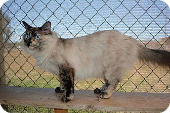 Siamese Cat for adoption in Jurupa Valley, California - Eucalyptus