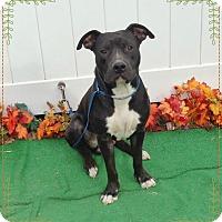Pit Bull Terrier/American Pit Bull Terrier Mix Dog for adoption in Marietta, Georgia - FELIX