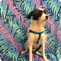 Adopt A Pet :: PRISSY - Elk Grove, CA