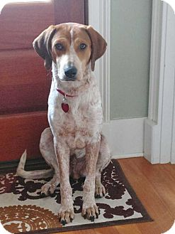English (Redtick) Coonhound/Hound (Unknown Type) Mix Dog for adoption in Charelston, South Carolina - Gravy
