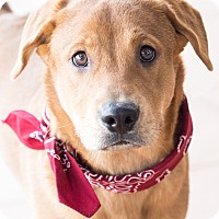 Adopt A Pet :: Bauer - Chandler, AZ