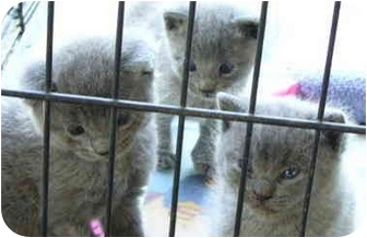 Russian Blue Kitten for adoption in Haughton, Louisiana - Russian Grey kittens (various)