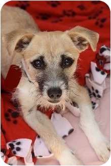 Terrier (Unknown Type, Small)/Jack Russell Terrier Mix Puppy for adoption in san diego, California - WHISKERS