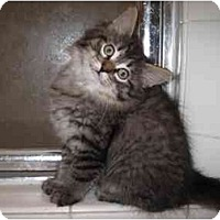 Adopt A Pet :: Pete - Beverly Hills, CA