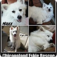 Adopt A Pet :: Maxx - Elmhurst, IL