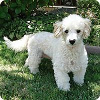 Adopt A Pet :: Mama Bear - Walnut Creek, CA