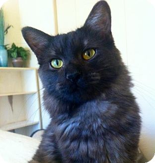 Domestic Mediumhair Cat for adoption in Hurst, Texas - Kashmir * courtesy post