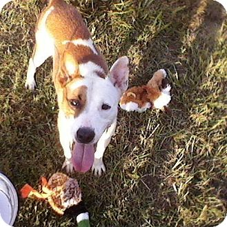 Pointer/American Pit Bull Terrier Mix Dog for adoption in North, Virginia - Max