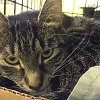 Domestic Shorthair Cat for adoption in Trevose, Pennsylvania - Suave