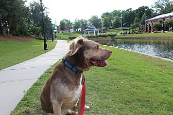 Shar Pei/Collie Mix Dog for adoption in Greer, South Carolina - Joey