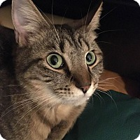 Domestic Shorthair Cat for adoption in Bowie, Maryland - Adopted! Adeline
