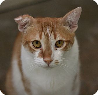 Domestic Shorthair Cat for adoption in Canoga Park, California - Butterscotch