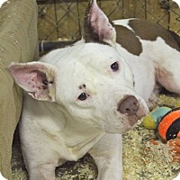Pit Bull Terrier Dog for adoption in middle island, New York - IRIS