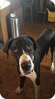 Great Dane Dog for adoption in Reno, Nevada - Bogie