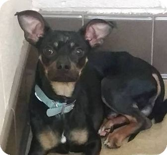 Miniature Pinscher Mix Dog for adoption in Las Vegas, Nevada - Bleu