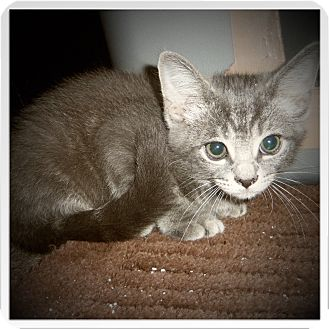 Domestic Shorthair Kitten for adoption in Medford, Wisconsin - FLANAGAN