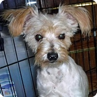 Miniature Schnauzer/Yorkie, Yorkshire Terrier Mix Dog for adoption in Peralta, New Mexico - **MANGO