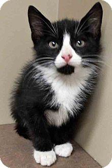 Domestic Shorthair Kitten for adoption in Oswego, Illinois - Tad