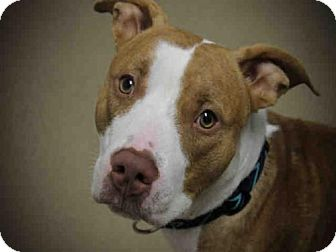Pit Bull Terrier Dog for adoption in Decatur, Illinois - BOSCO
