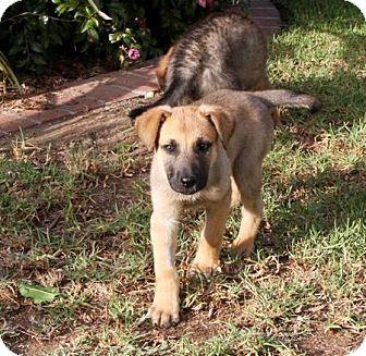 German Shepherd Dog/Australian Shepherd Mix Puppy for adoption in Mira Loma, California - Katja