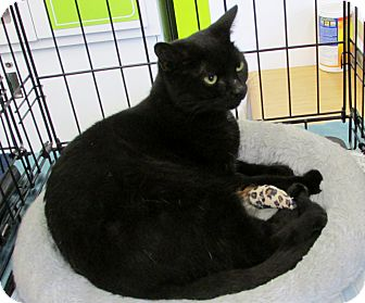 Domestic Shorthair Cat for adoption in Richmond, Virginia - Pixie
