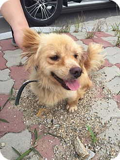 Golden Retriever/Basset Hound Mix Dog for adoption in Oakton, Virginia - Goldie