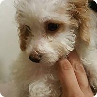Adopt A Pet :: Clarice - Monrovia, CA