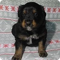 Adopt A Pet :: Oscar - Batesville, AR