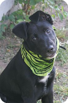 Border Collie/Labrador Retriever Mix Dog for adoption in Hutchinson, Kansas - Boogie
