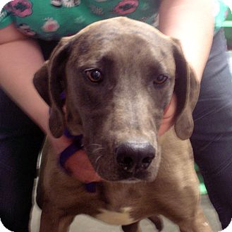 Great Dane Mix Dog for adoption in baltimore, Maryland - Pluto