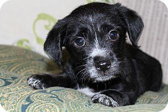 Yorkie, Yorkshire Terrier/Schnauzer (Standard) Mix Puppy for adoption in Hagerstown, Maryland - Balboa