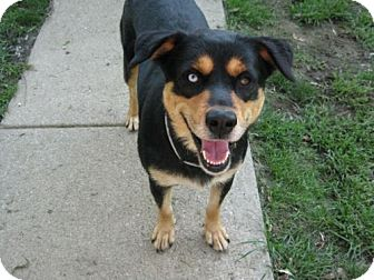 Rottweiler Siberian Husky Mix Dog for adoption in Cincinnati  Ohio    Siberian Husky Rottweiler Mix