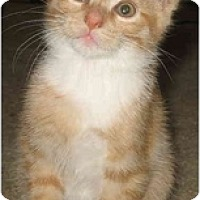 Adopt A Pet :: Brendas Male kittens - Cincinnati, OH