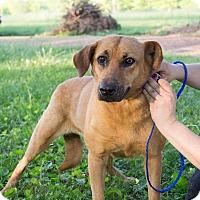 Adopt A Pet :: Laney - Starkville, MS