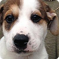 Adopt A Pet :: Robin Hood - Durham, NC