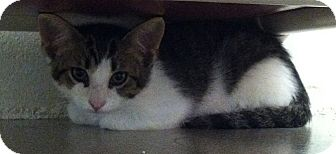 Domestic Shorthair Kitten for adoption in Huntsville, Alabama - Andy