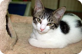 Domestic Shorthair Kitten for adoption in Lake City, Michigan - Kitten ID# 1762