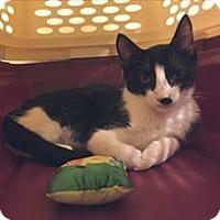 Adopt A Pet :: Domino - Tucson, AZ