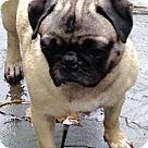 Adopt A Pet :: Lylah-ADOPTION PENDING!!