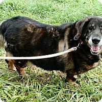 Adopt A Pet :: Ginger - Macomb, IL