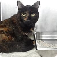 Domestic Shorthair Cat for adoption in Tucson, Arizona - SIA
