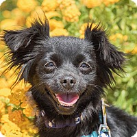 Adopt A Pet :: Betsy - North Las Vegas, NV