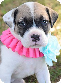 Pit Bull Terrier/Bulldog Mix Puppy for adoption in Colorado Springs, Colorado - Bernice