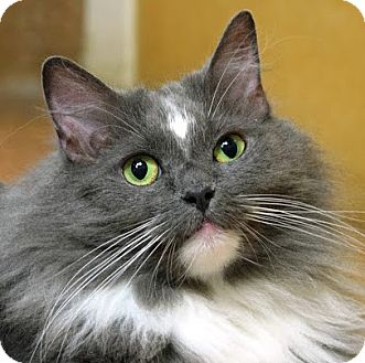 Domestic Longhair Cat for adoption in Norwalk, Connecticut - Nashibee