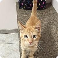 Adopt A Pet :: Bree - Warrenton, MO
