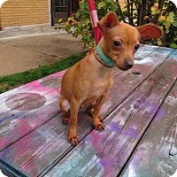 Miniature Pinscher/Chihuahua Mix Puppy for adoption in Chicago, Illinois - Scooby