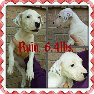Labrador Retriever/Hound (Unknown Type) Mix Puppy for adoption in Shaw AFB, South Carolina - Rain