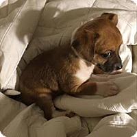 Adopt A Pet :: Hawk - Christine Pup - Encino, CA