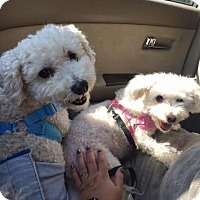 Adopt A Pet :: Bonded Pair: Max & Molly (Have App) - Washington, DC